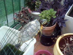 anotortue balcon