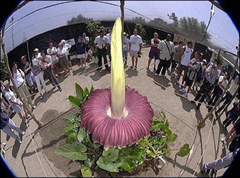 la-plus-grosse-fleur-du-monde-3