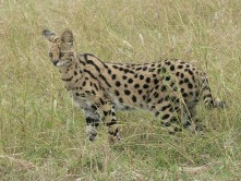 arue89maliwikimedias-serval