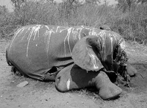 acites éléphant