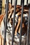 acites tigre