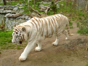 azoo la Fl tigre