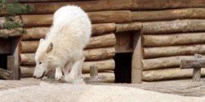 azoo-loups-blancs-de-l-arctique-sous-votre-fenetre-c-pg
