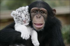 grande-amitie-tigres-chimpanze-L-12
