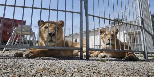 alemonde_des-lions-dans-le-cirque-de-frederik-rosel-a_29a7ca36d3934eb02804c488ddd58281
