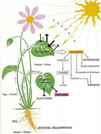 aplantephotosynthese