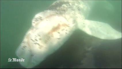 alemonde baleine alb