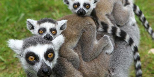 amadagascares-lemuriens-dans-un-zoo-en-allemagne_de0c3ac0d551e34051c447654772f75a