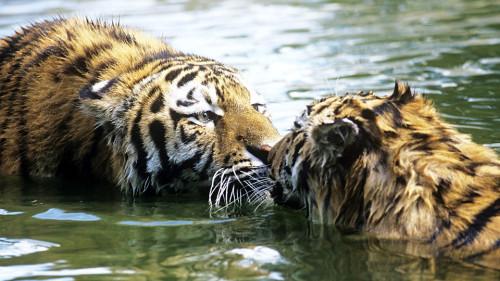 WWF-tigre-habitat-500x281