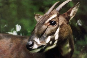 a saola pauses in the jungle of Vietnam