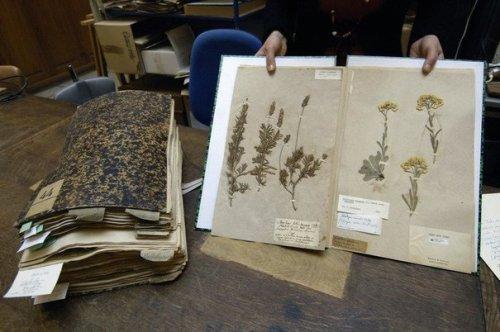 amuseumune-page-d-un-herbier-du-museum-national-d-histoire-naturelle-de-paris-le-30-mars-2007