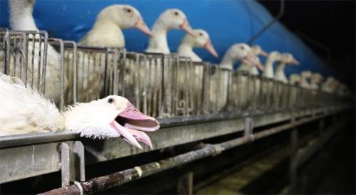 anotre planète foie-gras-Ernest-Soulard