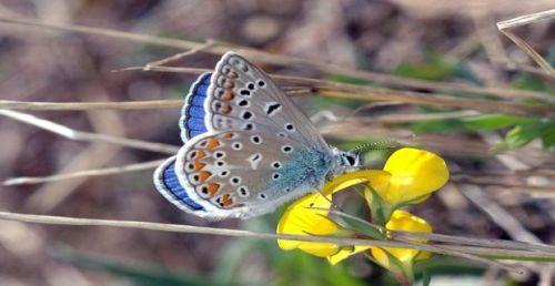 apapillons-de-prairie-default