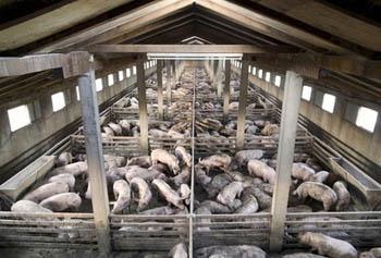 Porcherie industrielles cochon qui s en d dit r sistance inventerre - Comment construire une porcherie ...