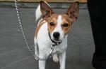 standard_chien-micro-trottoir-eglantine
