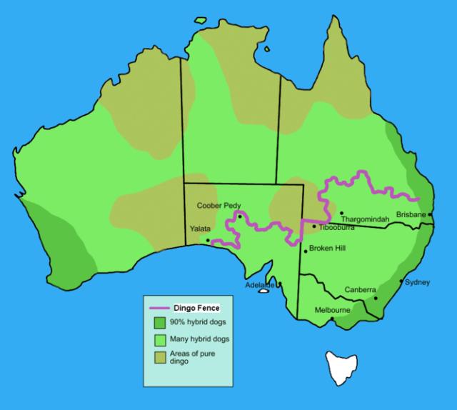 667px-Dingo_fence_in_Australia