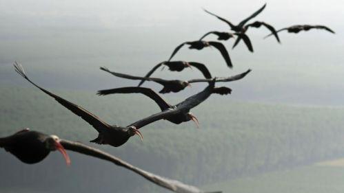 aibis formation en vol