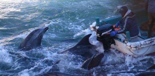 ajapon-le-massacre-des-dauphins-de-taiji-denonce