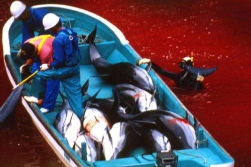 ajapon massacre753946-tous-ans-eaux-port-taiji