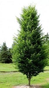 arbre charme déc