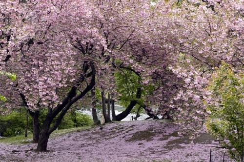 ajapon cerisier