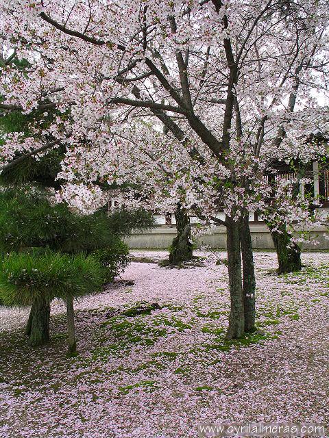 ajapon cerisiersIMG_1943_petales_de_fleurs_de_ceriser