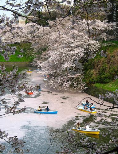 ajapon hanami_imperial_palace_boats_cherry_blossom