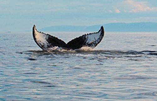 acanada baleine