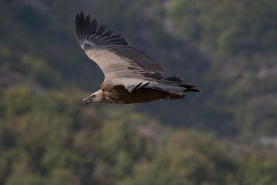 alemonde drome889c-vautour-fauve-remi-collange_59f53867b4048925fcbb400432377900