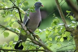 achene pigeon ramier