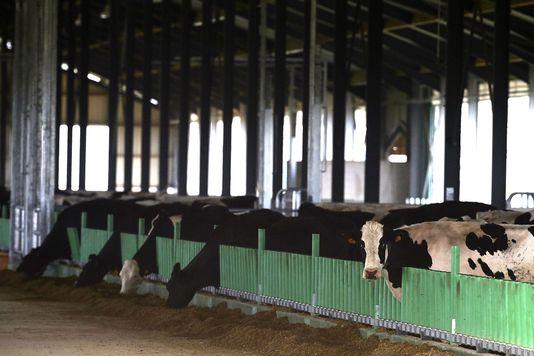 alemonde la ferme_les-150-premieres-vaches-sont-arrivees-samedi_fb973c2ba3347e0d6726fbcccda0bdc3