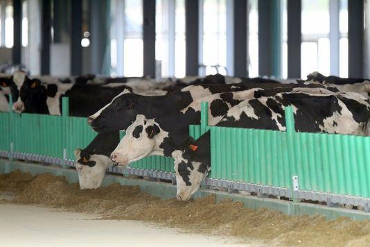 alemondeles-vaches-fraichement-debarquees-a-la_939d1177f032987b05e86c1105dd086e