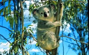 koalaarbre10