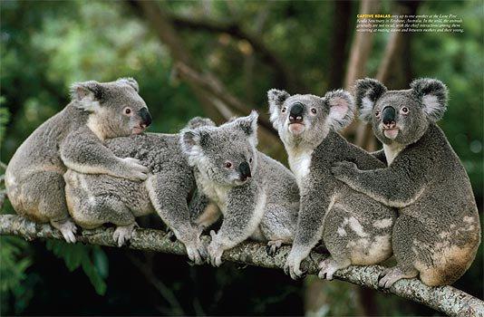 koalas groupe3074114299_1_13_5sgzMZA7