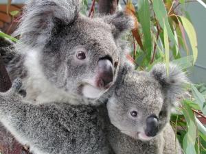 koalawp_post_1939_2_joey