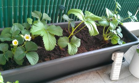 c est le moment de planter des fraises sur votre balcon. Black Bedroom Furniture Sets. Home Design Ideas