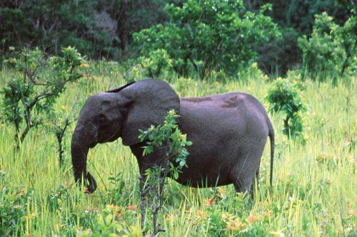 alemonde gabon-12-000-elephants-ont-ete_7317dd979eceed200c28695faa401a56