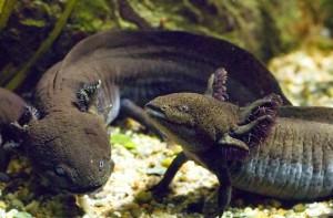 aAxolotl-Steve-Wilson-300x197.jpgsauvage
