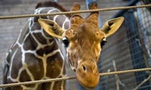 ajm neumanMarius-the-giraffe-011