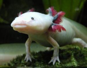 Axolotl_-_white