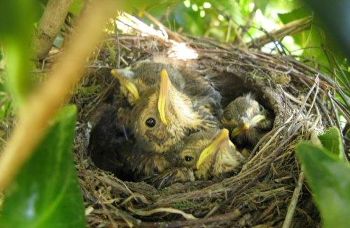 Doit on ramasser les oisillons tomb s du nid quelques for Oiseaux de jardin au printemps