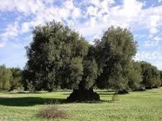 oliviers Tina