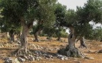 oliviers tina04