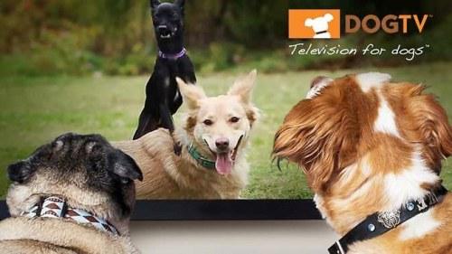 1109009_la-premiere-chaine-de-tele-pour-chiens-dogtv-debarque-en-france-web-0204283965382_660x371p