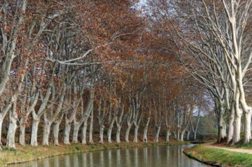 acanal midi maladiesauver-les-platanes-du-canal-du-midi-grace-au-mecenat-article-main-large