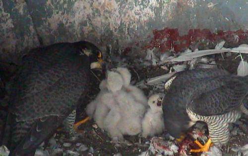 Des petits faucons à suivre en direct !