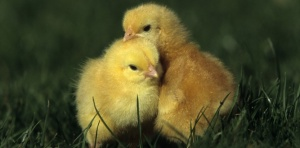 Old chicks of 1day France. Biosphoto / Cyril Ruoso