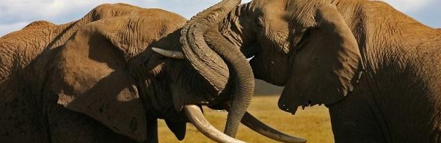 aéléphantsste-elephant-bulls.jpg40