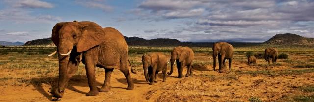 aéléphantsste-elephant-herds