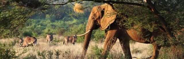 aéléphantsste-elephant-oryx
